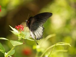 black and white swallowtail Butterfly on flower, usa, Florida
