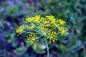 yellow flowers of italian dill