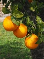 ripe oranges on the tree branch