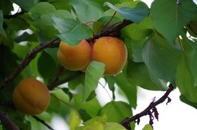 Picture of Apricots on the tree