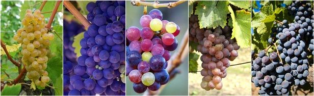 different grape varieties collage
