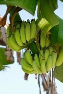 green bananas on a banana tree