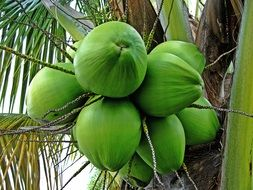Green unripe coconuts on the tree