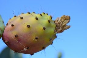 Prickly Pear Fruit Cactus mediterranean