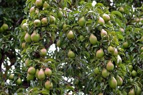 lot of Pears on branches, rich harvest