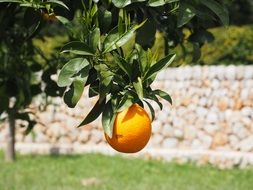 orange fruit on the tree