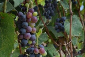 ripening Grapes on vine, summer Vineyard