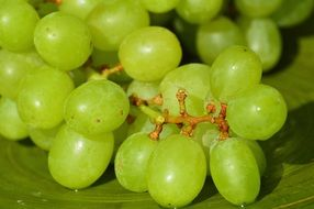 ripe bunch Grapes Healthy Fruit