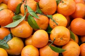 juicy ripe tangerines with green leaves