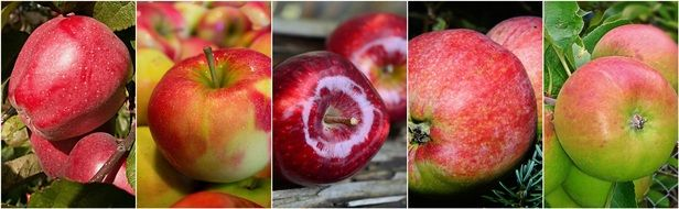 collage with red apples