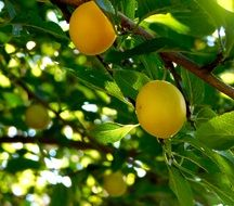 Yellow Plums on branch closeup