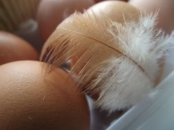 Beige Chicken Eggs and feather