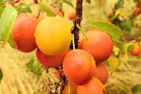 Yellow fresh Plums on branches