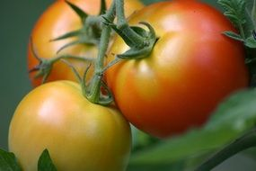 unripe tomatoes on a branch