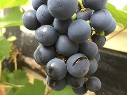 Delicious blue grapes