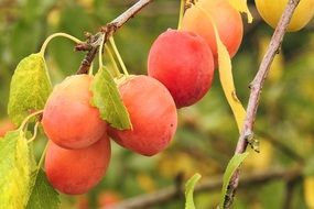 Yellow red Plums on branch