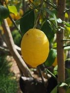 mature yellow lemon on the tree