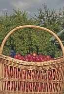 Basket with Plum harvest