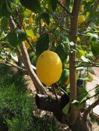 sour yellow lemon on the tree