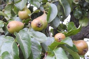 pears on the tree in the orchard