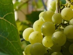 maturation of green grapes