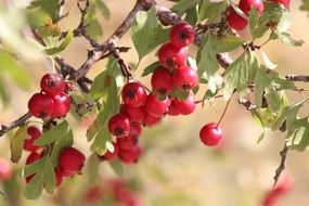 Hawthorn Red Fruit