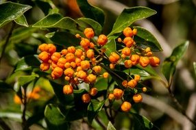 Orange Berries of diamond-leaf pittosporum