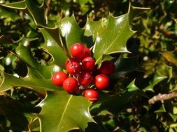 fresh Holly Berries