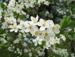 fruit trees in white bloom close-up