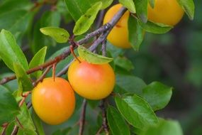 Yellow Plums on green branches