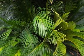 green leaves of tropical palm