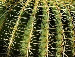 cactus with large spikes close up