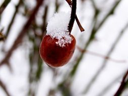 red berry in the snow on a tree
