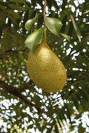 jackfruit on a branch close-up