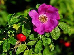 red berries and purple flowers on a green bush