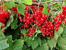 red currants on a bush in a village