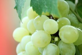 white grapes on vine, macro