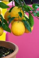 potted Lemon Tree with Yellow fruits