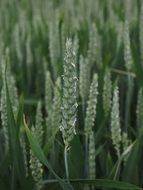 green wheat spikes