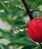 red fruit on a branch in raindrops