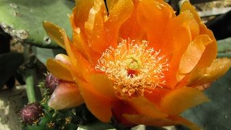orange prickly pear flower