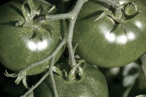 dark green tomatoes on a branch