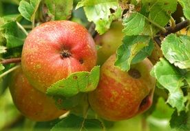 Apple Fruit Apple Tree Vitamins