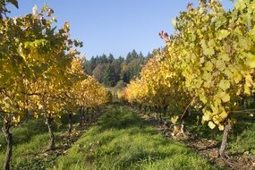 autumn Vineyard Wine in Oregon landscape