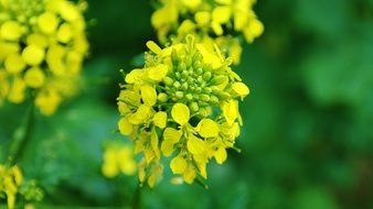 Rape Blossom at green background