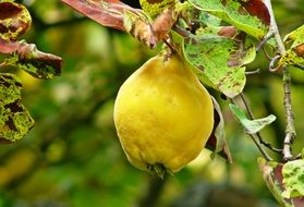 yellow Quince Fruit closeup