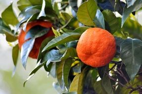 ripe oranges on a tree close-up