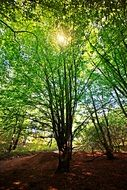 green beech in the sun