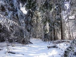 winter Forest Tree Panorama View