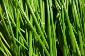 green onion close-up
